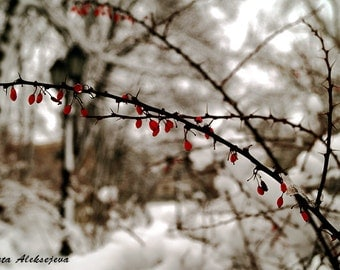 Winter - Fine Art Photography - Digital photography download, instant download, winter photography, Wall decor, winter berries, winter photo