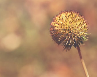The Speck Color Photo Print { ball, red, brown, orange, fall, autumn, sunshine, spikey, wall art, macro, nature & fine art photography }