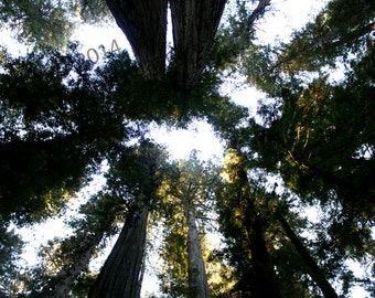 California Redwoods Sky Shining Green - Landscape Photography Print
