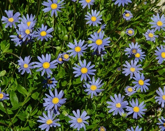 Flower Seeds - TAHOKA DAISY