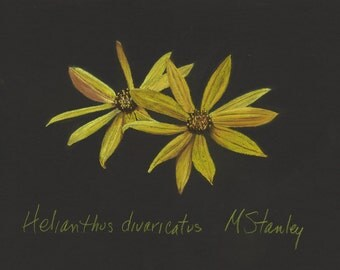 Original pastel drawing of a woodland sunflower wildflower