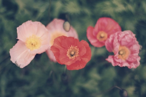 Poppies - approx 30x20cm / 12x8in fine art MATTE photo print - poppy, papaver, flowers, red, pink, fpoe, flora