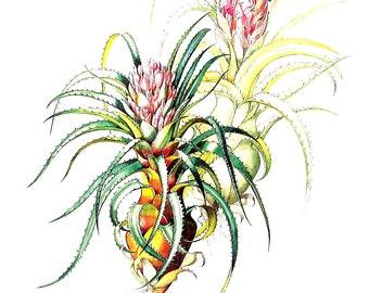 Bromeliad Flower Print  - Streptocalyx longifolius Bromeliad - Margaret Mee 1989 Vintage Book Page 11 x 9