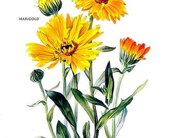 Marigolds Print - 1969 Vintage Colored Botanical Illustration - 6 x 9 Book Page