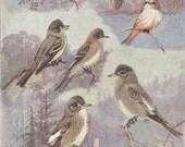 Vintage Bird Print, Book Plate, Flycatchers, Vermillion, Beardless, Pewees, Allan Brooks, Antique Bird Illustration, 1930s