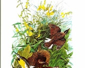 Bird Print - Meadowlark - Vintage Art Print - Audubon Book Plate, Print - Oriole - Birds of America - John James Audubon - 1970s