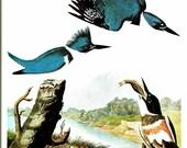 Bird Print - Belted Kingfisher - Vintage Art Print - Audubon Book Plate, Print - Kingfisher - Birds of America - John James Audubon - 1970