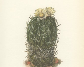 Vintage Cactus Print, Five Spined Cactus, Eechinofossulocactus, Yellow Flower, Botanical Plant (35) Natural History, Art, 1971