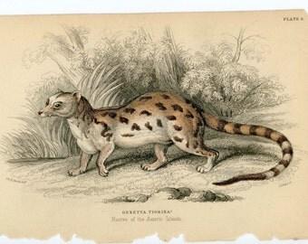 1836 genetta tigrina original antique animal engraved print