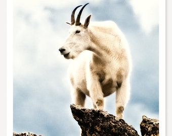 Top Goat - Wildlife Photography - Mountain Goat Photo - Colorado Art Print - Nature Photograph - Animal Photography