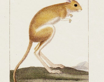 1830 Antique JERBOA  print, very cute Jerboa Mouse, Original antique hand colored, 183 years old