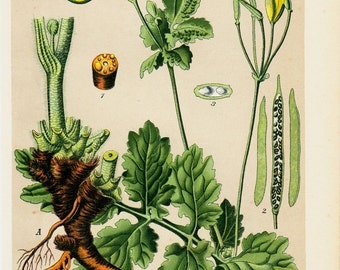 1901 Antique BOTANICAL print, Chromolithograph of a Chelidonium or greater celandine or tetterwort. Homoeopathic plant