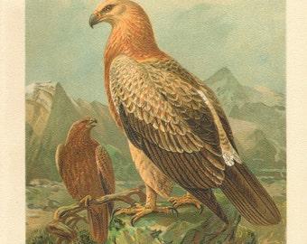 1903 Original Antique Lithograph of the Tawny Eagle