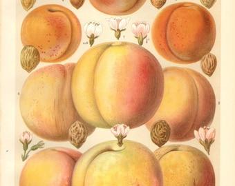 1904 Peaches and Apricots Original Antique Chromolithograph to Frame