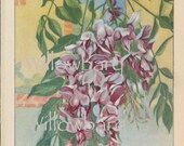 Wisteria. 1926 country cottage garden old fashioned botanical color lithograph print