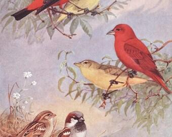 Bird Print, Bird Art SALE (1930s Bird Wall Decor, Scarlet Tanagers) Vintage Bird Illustration No. 241-2