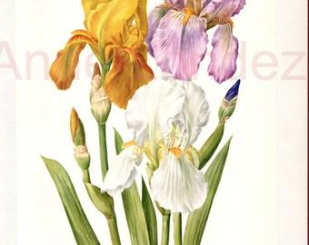 1964 vintage botanical art Vintage flower print Vintage iris poster floral decor french botanical print  French country decor iris art