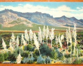 Vintage Postcard, Desert Beauty Linen PC, Yucca in Bloom in New Mexico, Blossoming White Flowers in Front of Mountains Spring Unmailed 1930s