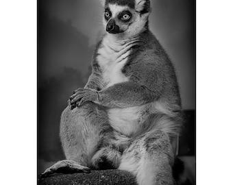 Lemur Portrait Print, Primate, Nature Photography, Animal Photo, Zoo, Madagascar, African, Fine Art Photography, 5x7, 8x10, 11x14