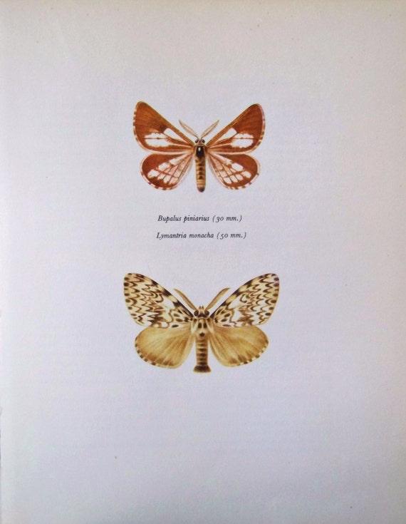 Vintage color book plate. Old print. Butterflies Bupalus piniarius & Lymantria monacha. 1966 illustration. 8 x 10'1 inches or 20'5 x 26 cm.