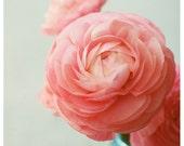 Flower Photograph - Ranunculus - Fandango -  Spring - Original Fine Art Photograph - Pink - Petals - Bloom - Floral - Botanical - Flower Art