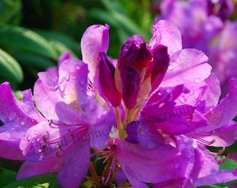 TREASURY ITEM Royal Purple Rhododendron Photographic Print