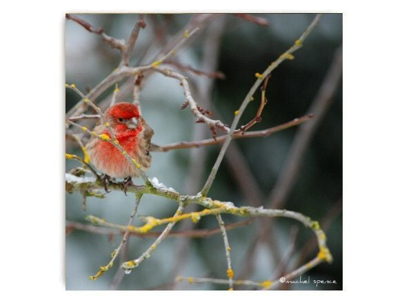 House Finch Print Nature Photograph Woodland Scene Forest Scene Affordable Art  Lovely Bird Snow In The Forest Orange