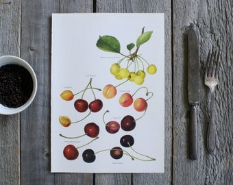 Vintage Print, Cherries, Book Plate, 1965