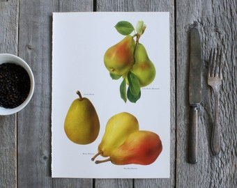Vintage Botanical Print - 1965 - Book Plate Illustration - Pears