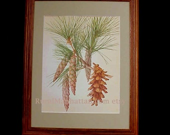Botanical Plate Eastern White Pine Tree or Weymouth Pinus Strobus 60s Evergreen Pinecone Print Wood Frame Bungalow Style Adirondack Style
