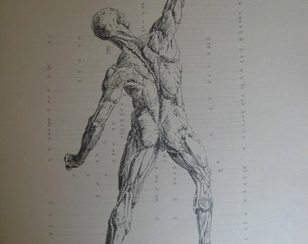 Antique 1886 Engraving of the muscles of the body, rear View