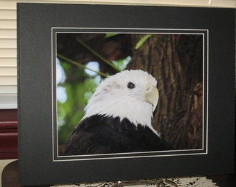Matted, Bald Eagle, Freedom, Fine Art Photograph Print, 8 x 10 Glossy