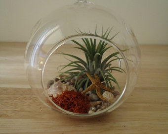 Tillandsia Air Plant Bromeliad Hanging Terrarium, Ready for Gifting