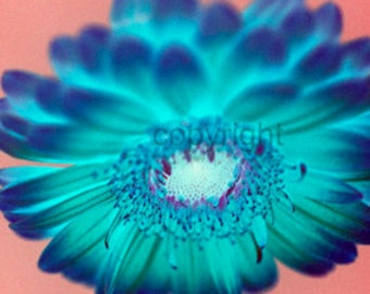 Gerbera flower photograph (UK621/13) Limited Edition of 45 - 16cm x 16cm