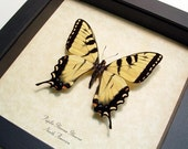 Real Tiger Swallowtail Butterfly Conservation Quality 562