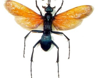 Real Framed Pepsis Formosa Female North America Tarantula Hawk Wasp Insect Shadowbox Display 2660s