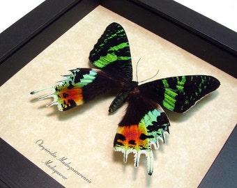 Real Framed Sunset Moth Conservation Quality Display 163