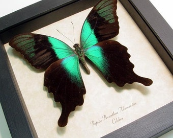 Real Green Butterfly Conservation Quality Display 269