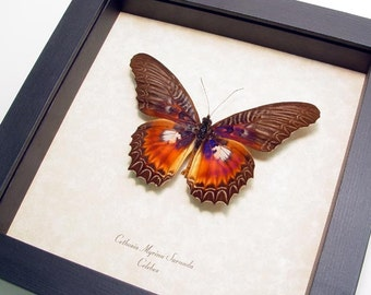Real Framed Butterfly Cethosia Bold Purple Fuschia Free Shipping 134