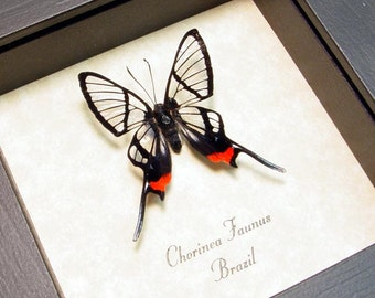 Framed Butterfly Real Long Tailed Glasswing Display 447L