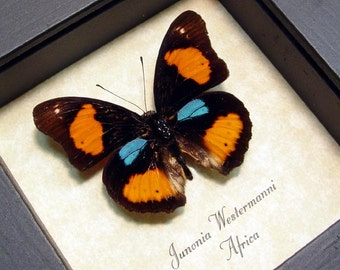 Real Framed Junonia westermanni Colorful African Butterfly Blue Spot Pansy 887