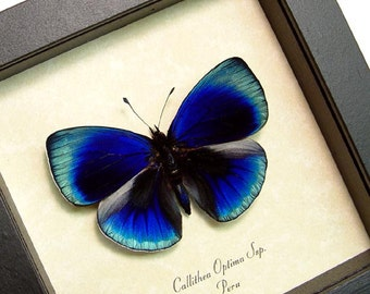 Wedding Day Gift Glowing Blue Optima Real Butterfly Conservation Display 819d