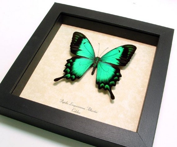Mother's Day Gift Best Seller for 15 Years Real Green Butterfly Display 277