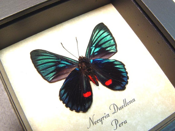 Shadowbox  Framed Necyria Duellona Real Metallic Red Spotted Butterfly 712v