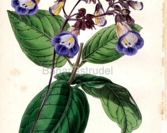 1847 Rare Vintage Botanical Print by Joseph Paxton - Chirita Zeylanica - Handcolored