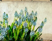 Hyacinthe Instant download flower fine art photography Digital download