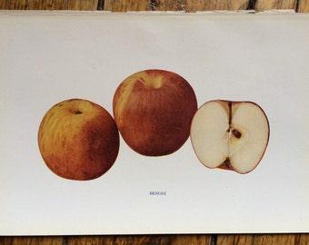 1905 ANTIQUE APPLE PRINT original antique fruit lithograph print -  benoni apple