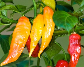 Pepper, Aji Cristal Pepper Seeds