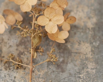 Pretty faded hydrangea-flower photography - flower photo- cottage garden photo (5 x 7 Original fine art photography prints) FREE Shipping)