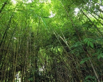 Surrounded by bamboo trees looking up print, nature and landscape, bamboo trees, bamboo